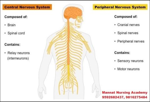 Nervous System in Body   mannatacademy.com